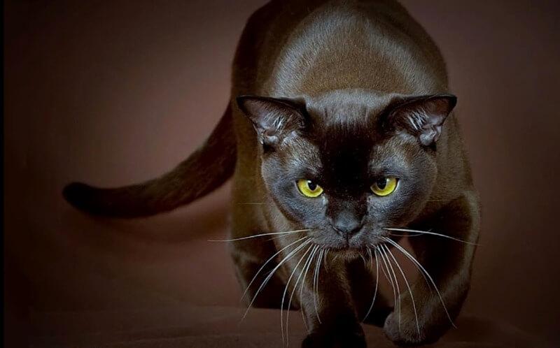 форма ушей у кошек бурма