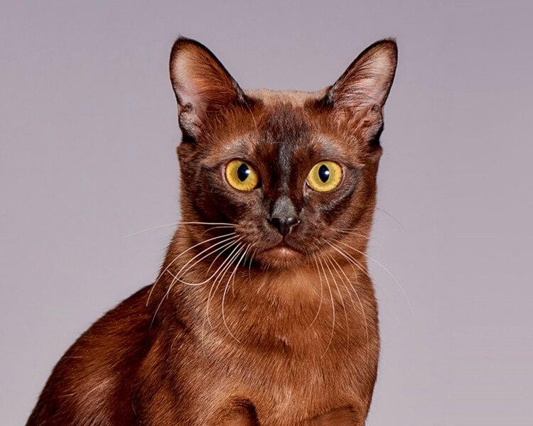 очі у бурманських кішок