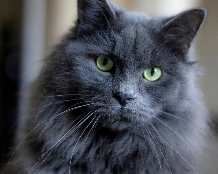 глаза у кошек нибелунг