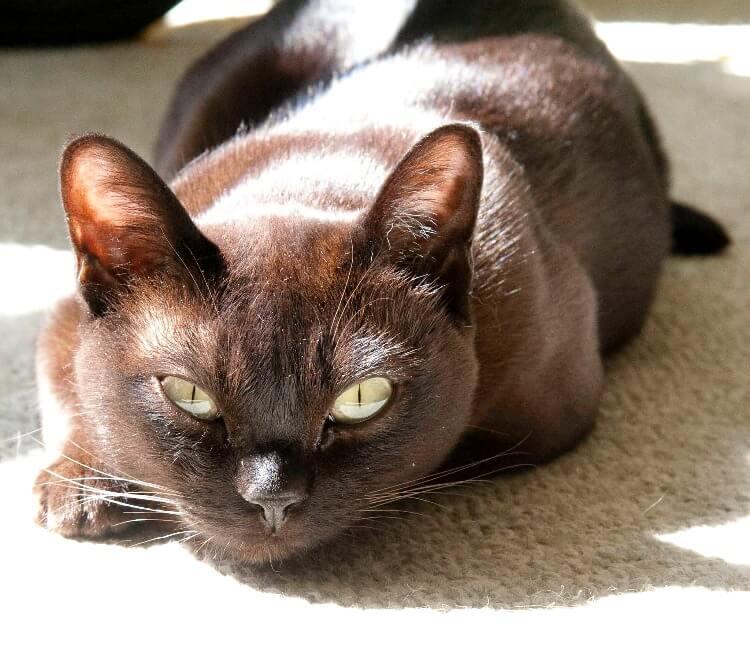 кішка бурма