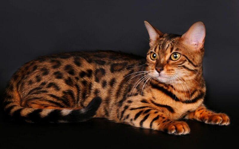 кішка схожа на тигра тойгер