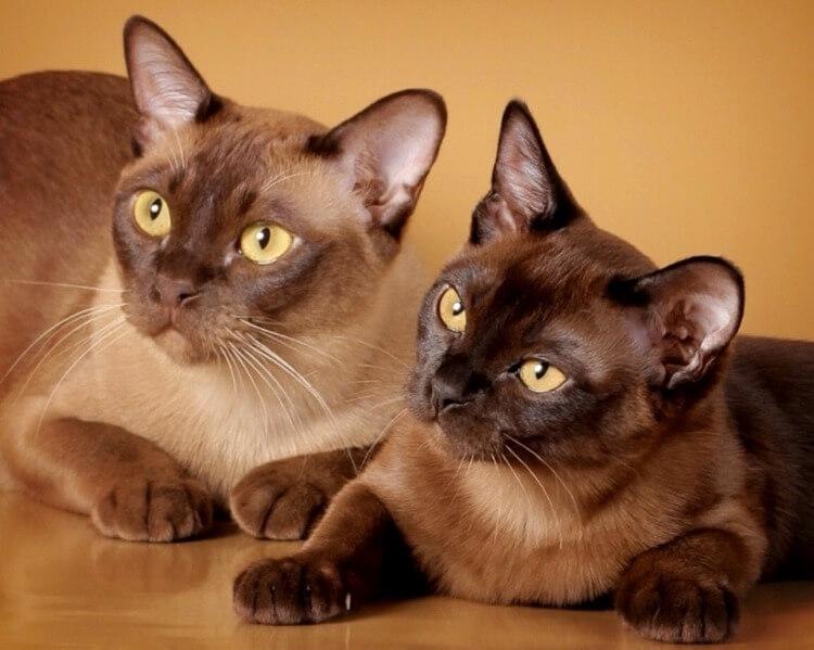 кішки бурманської породи