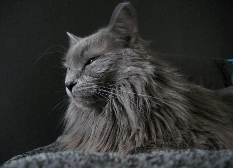 кот нибелунг
