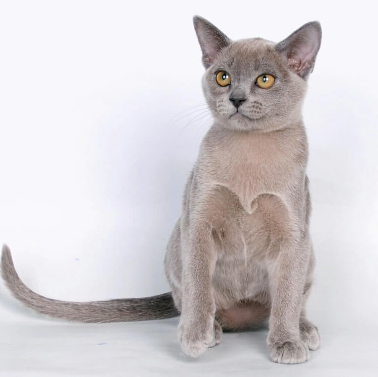 кошеня бурманський блакитне забарвлення