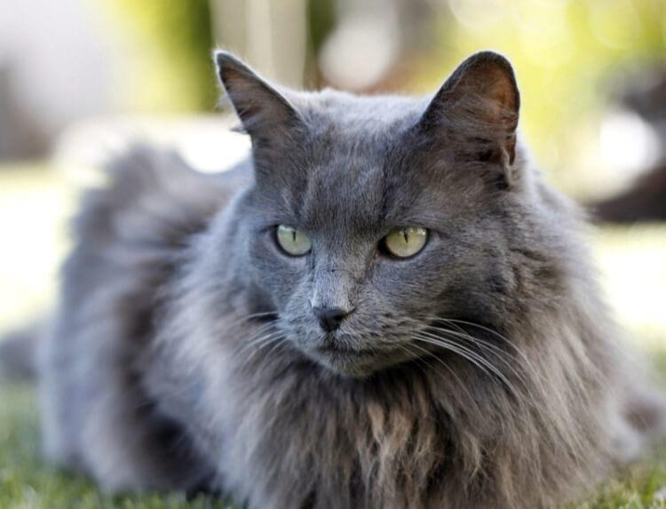 нибелунг кот