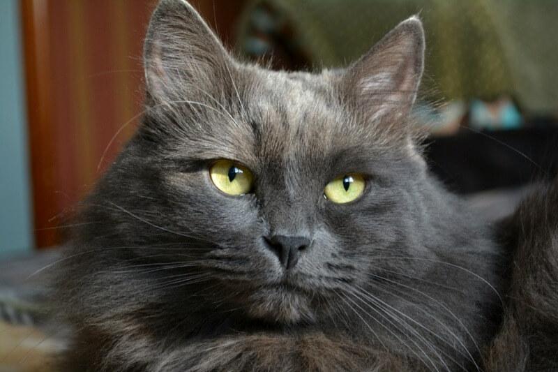 нибелунг кошка окрас