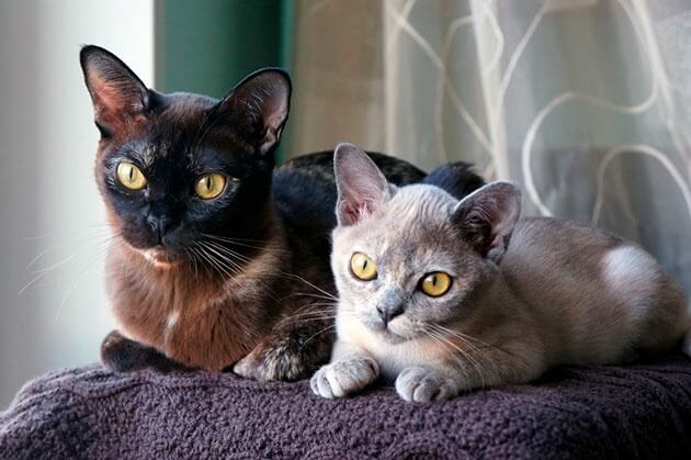 окрасы бурманских кошек