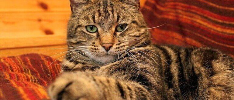 самые умные породы кошек