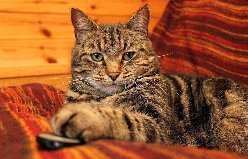 найрозумніші породи котів