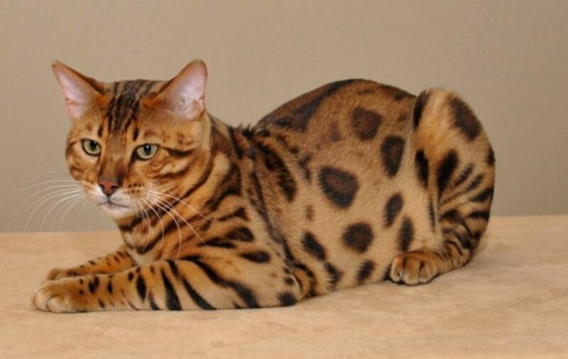 тойгер кіт