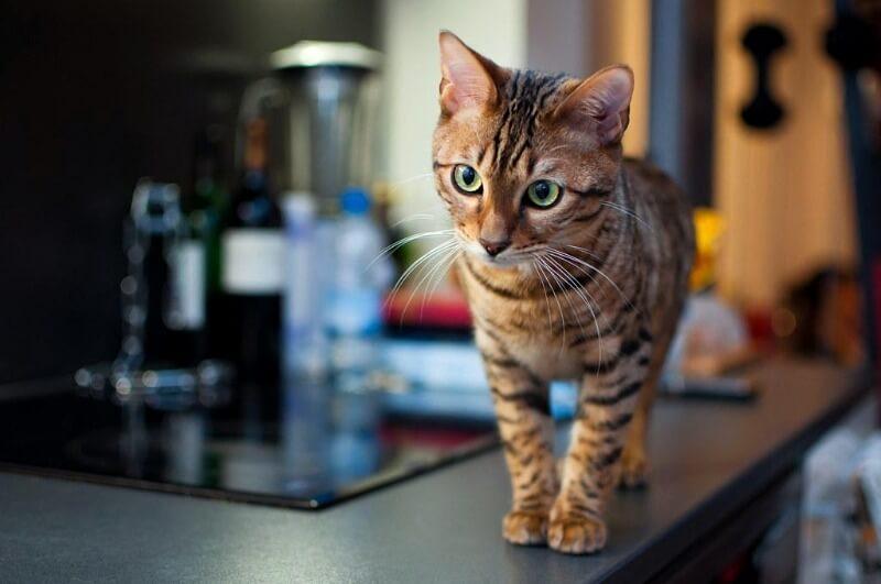 тойгер котенок