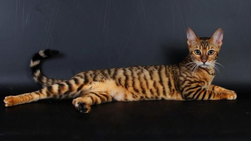 забарвлення котів тойгер
