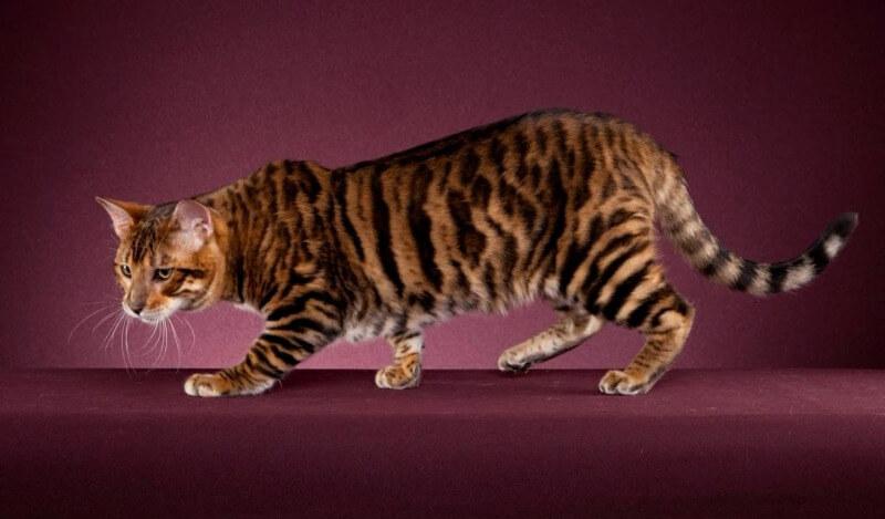 тойгер порода кошек