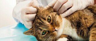 вушний кліщ у котів