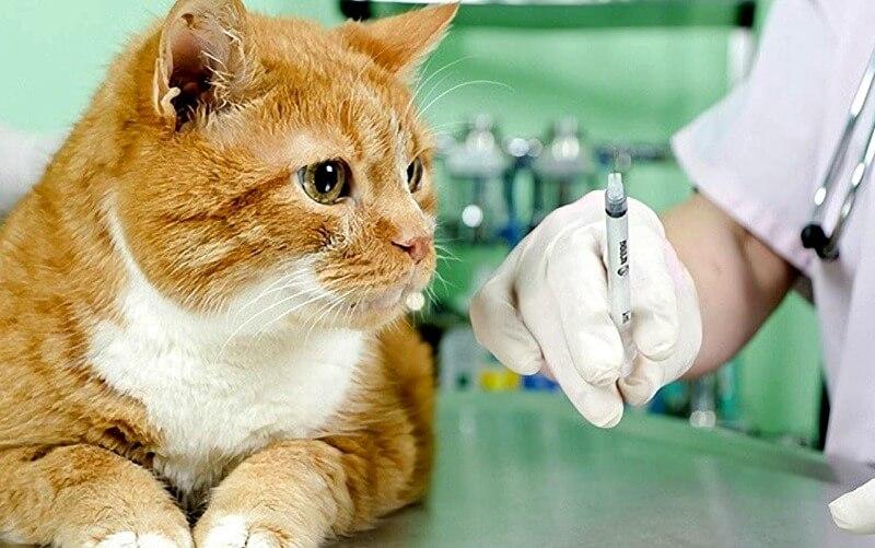 вакцинація домашніх кішок за і проти