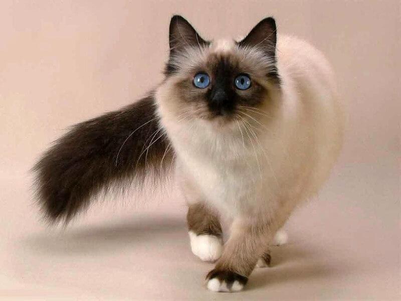 балинез с голубыми глазами