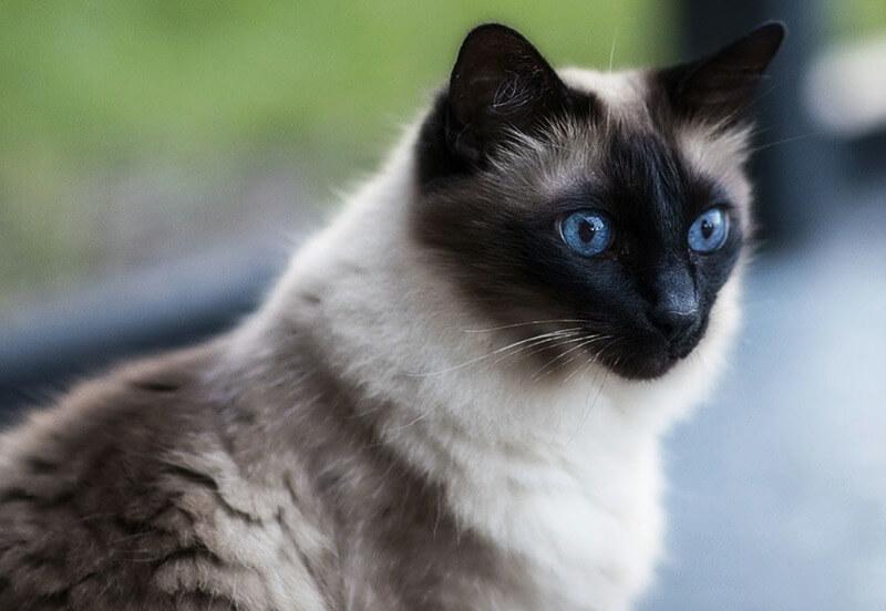 балінез кіт