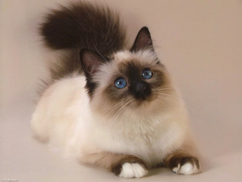 балінезійська кішка