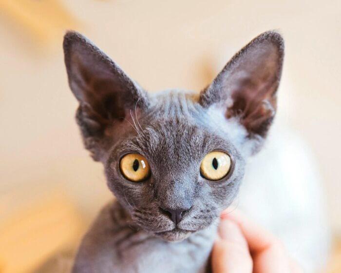 гіпоалергенна кішка девон рекс
