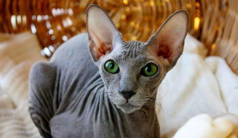 гіпоалергенна кішка петерболд
