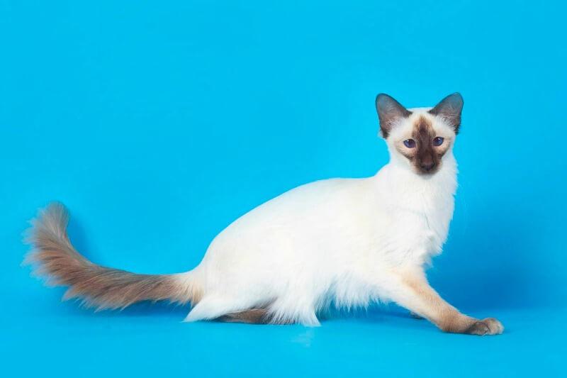 характер балінезійської кішки