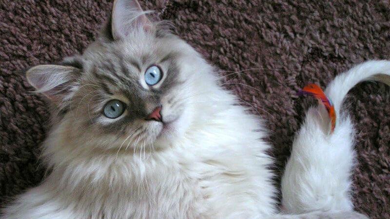 характер невської маскарадної кішки