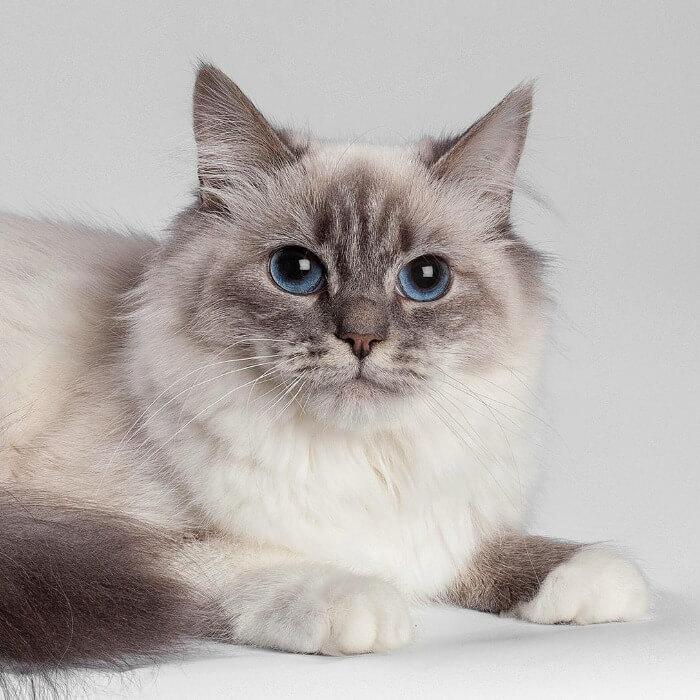 колір очей у невської маскарадної кішки