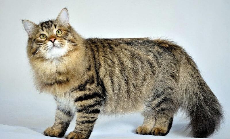сибирская кошка гипоаллергенная