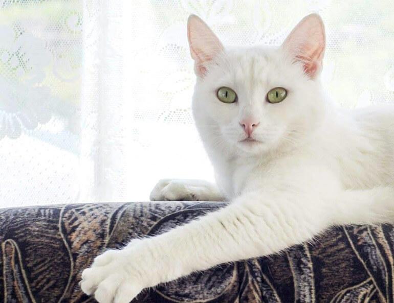 Американська короткошерста кішка біла