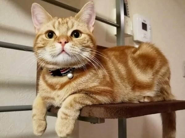 Американська короткошерста кішка руда