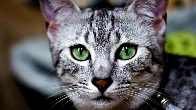 колір очей у єгипетської мау