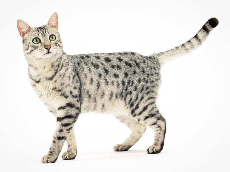 єгипетський мау кішка