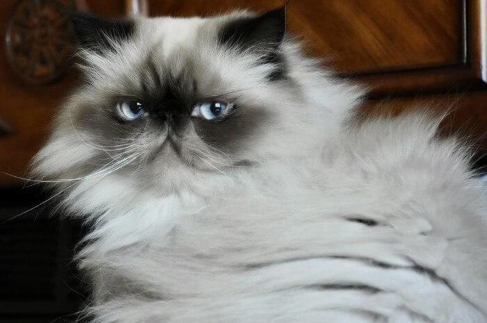 гималайская кошка голубого окраса