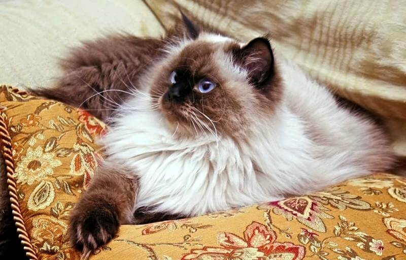 характер гималайский кошек