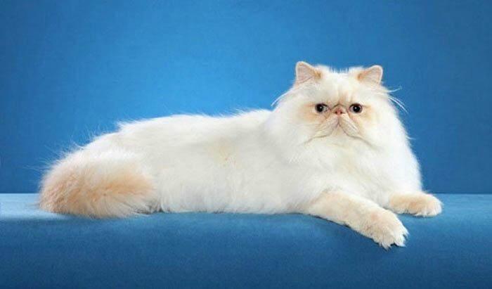 гималайская кошка кремового окраса