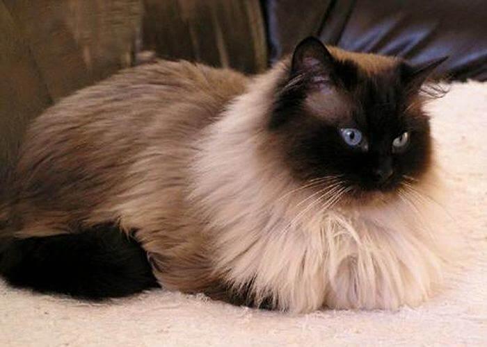 структура шерсти у гималайских котов
