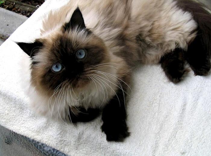гималайский кот голубой окрас
