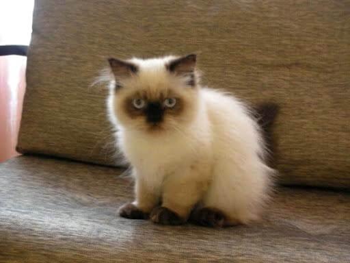гімалайське кошеня