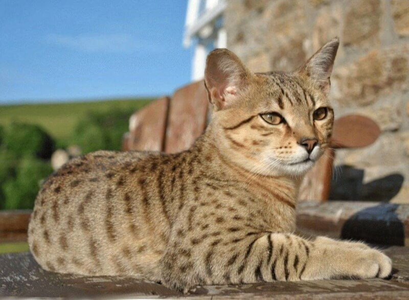 кішка єгипетської мау