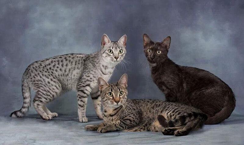 забарвлення котів єгипетської мау