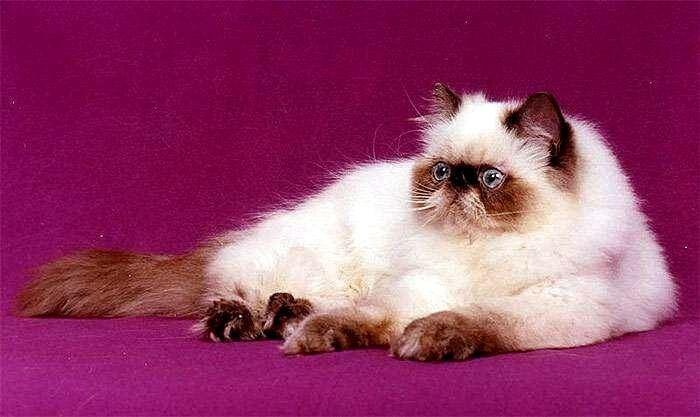 шоколадная гималайская кошка