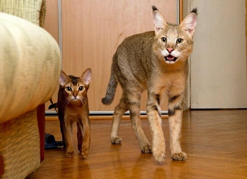 чаузи и абиссинская кошка