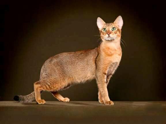 чаузи кот
