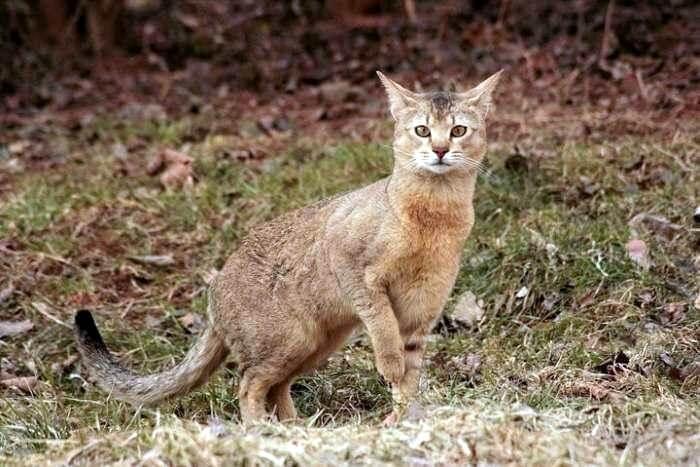 кот породы чаузи