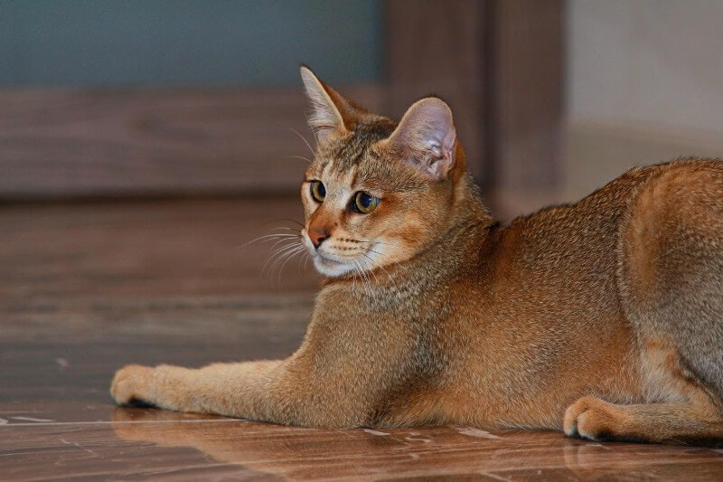 кішка чаузі