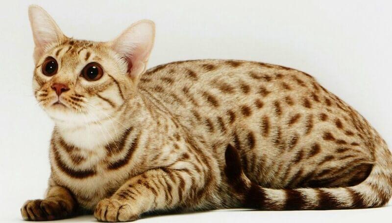 оцикет кішка