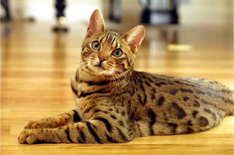Кіт оцикет