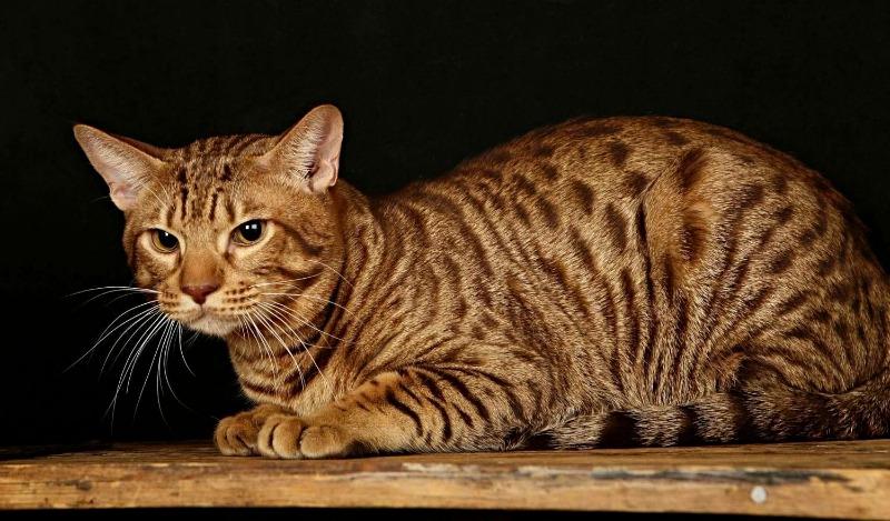 порода котів оцикет